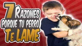 7 Razones Porque Tu Perro Te Lame La Cara/Manos/Pies