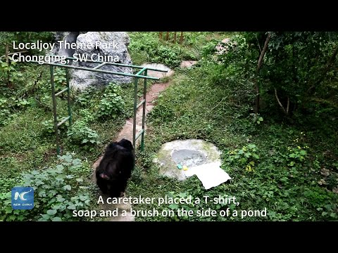 Chimpanzee Washes T-Shirt In SW China