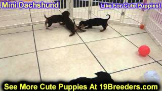 Miniature Dachshund, Puppies, For, Sale, In, Baltimore, Maryland, Md, Fort Washington, South Laurel,