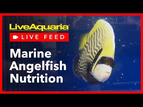 Marine Angelfish Nutrition - LiveAquaria Live Feed - October 26, 2018