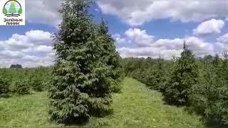Питомник ели Зеленые Линии