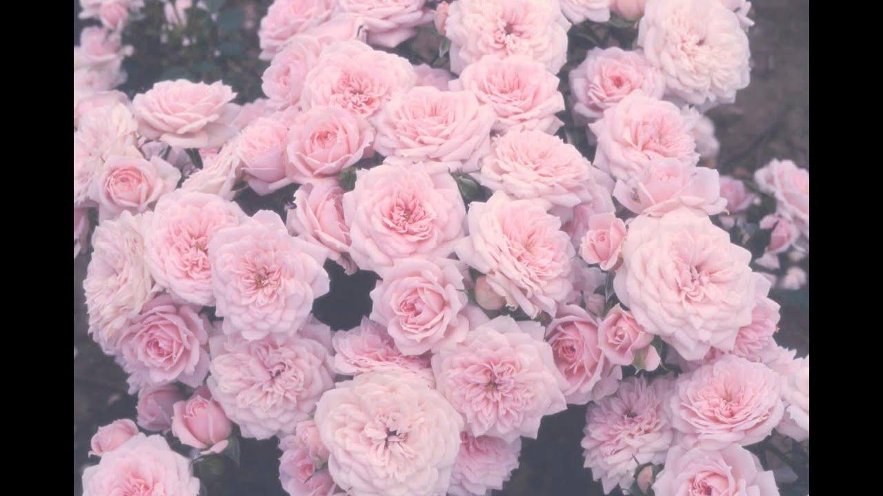 Next vintage rose wallpaper