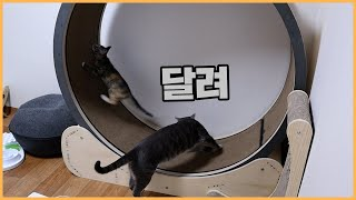 Cats spinning cat exercise wheel