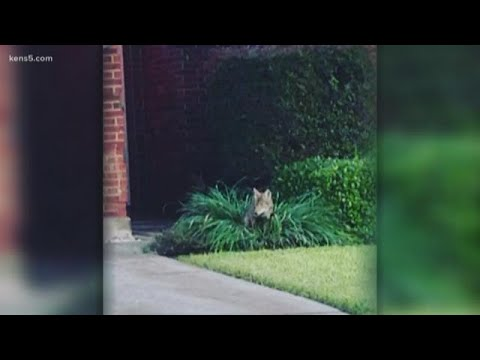 San Antonio's got a coyote conundrum