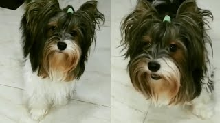 CUTE AND AWESOME BIEWER TERRIER MOMENTS