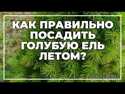 Как правильно посадить голубую ель летом? | toNature.Info