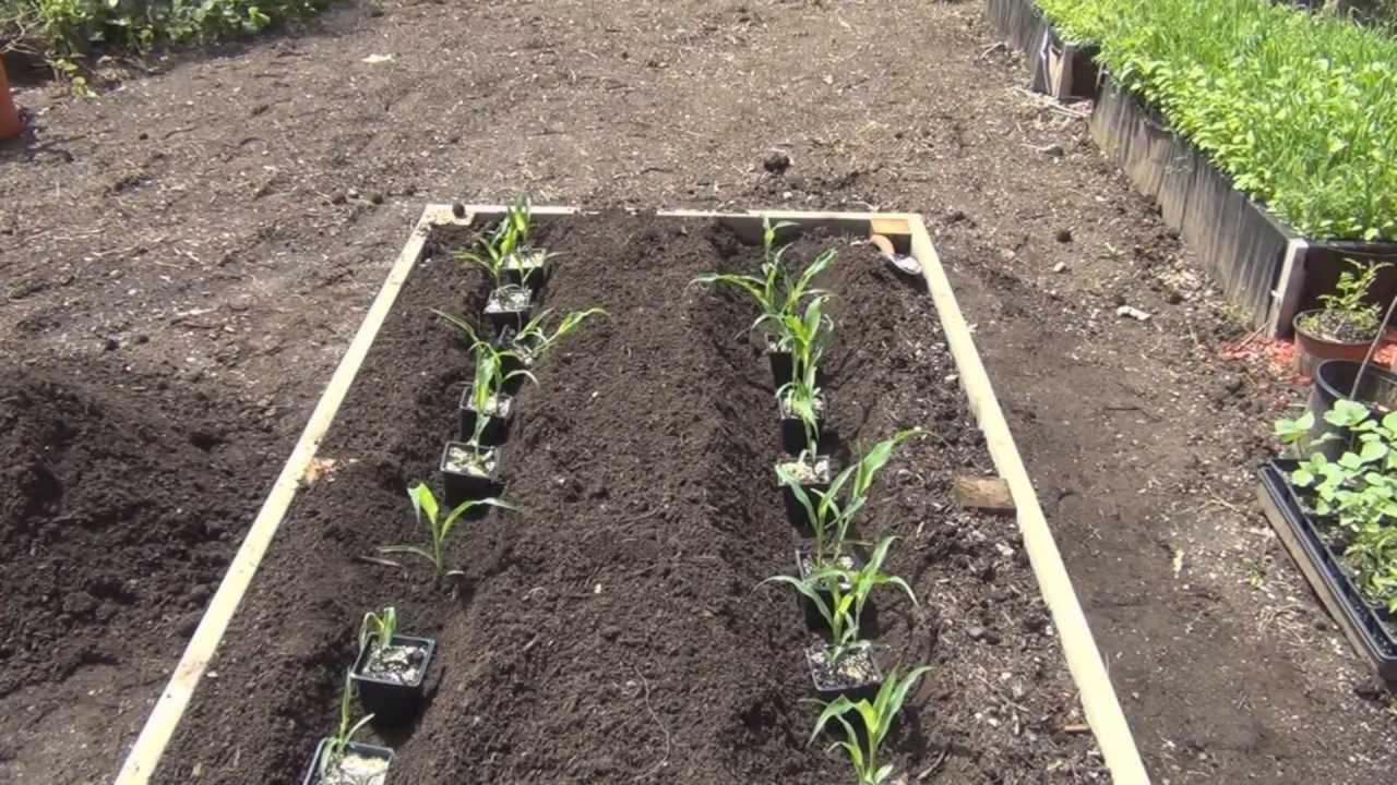 Growing Corn In Raised Bed