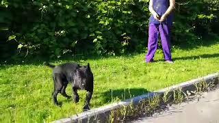 Klarisa the Cane Corso Italiano puppy for sale by Euro Puppy