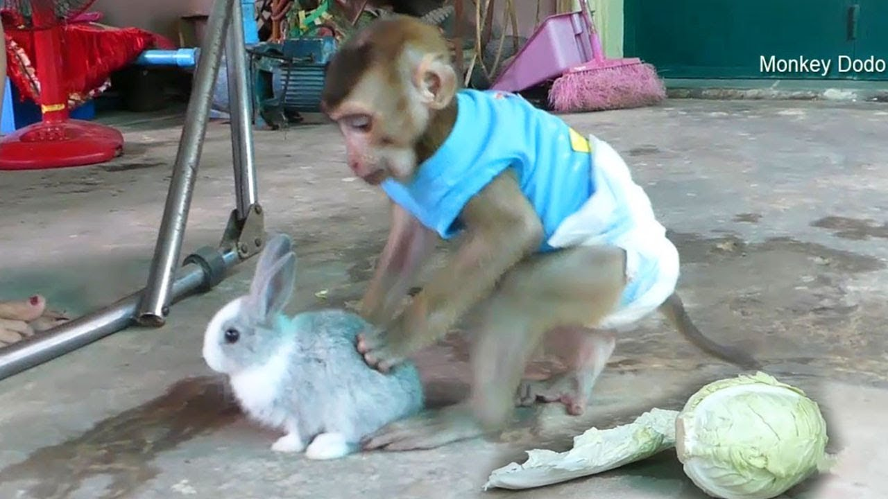 Baby Monkey Dodo Love And Be Best Friend With Cutest Baby Rabbit