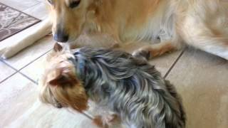 Mellow Golden Retriever Meets Yorkshire Terrier (yorkie) For First Time - English Cream