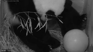 'It's a girl! - US zoo reveals sex of panda cub