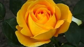 видео Роза Дольче Вита: фото, описание сорта, отзывы садоводов