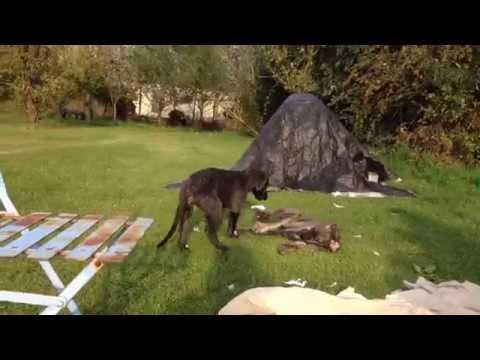 Ardneish Deerhound Puppies nearly 10 weeks