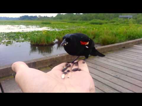 Red-Winged Blackbird feeding... On My Hand!