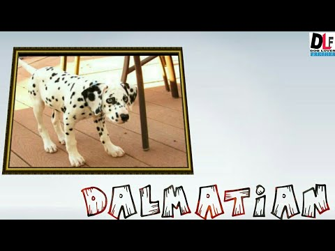 DALMATIAN DOG IN HINDI{ALL FACTS BY DOG LOVER FRESHER}