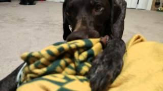 German Shorthaired Pointer Blanket Chewing.  Benelli The Gsp!