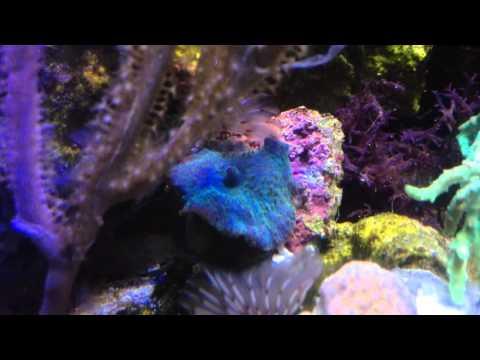 Dwarf Seahorse, new coral 2/16/16