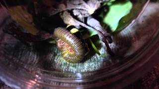 Glowworm (Phengodidae) attacking a millipede