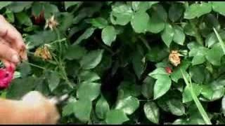 Deadheading Roses and Perennial Plants - Flower Gardens