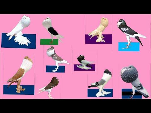 Top 12 types pouter pigeon Bird