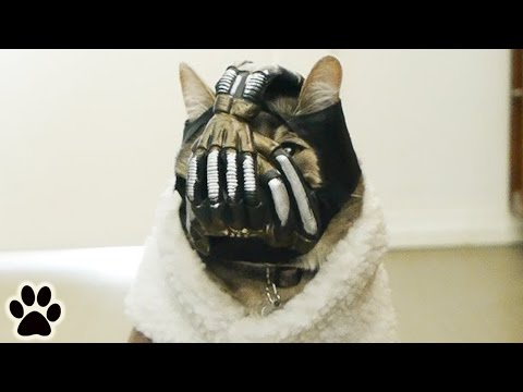 Bane Cat Is Not Amused