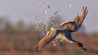 Работа подсадной утки.  Открытие охоты 2016