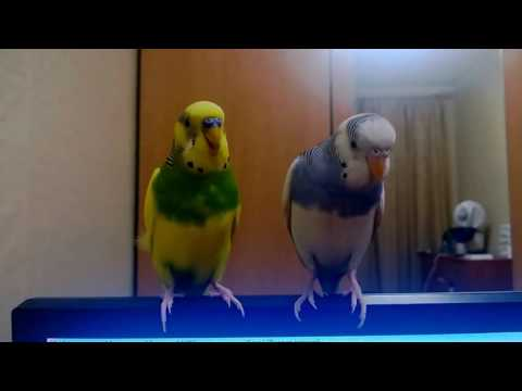 Funny yellow parrots singing in karaoke