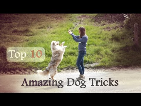 Top 10 Amazing Dog tricks - Aiko australian shepherd