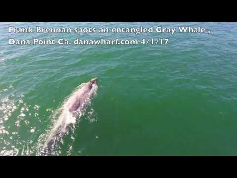 Have you seen this whale? Strange and scary entanglement please watch