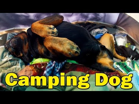 Best Camping Dog Breed Ever! - 130 Pound Rottweiler