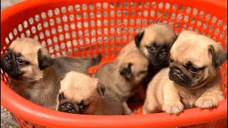 Chó Pug con ( đã bán ) | Pug con tìm chủ mới | Trại Chó Bình Cao | liên hệ : 0939.2222.11