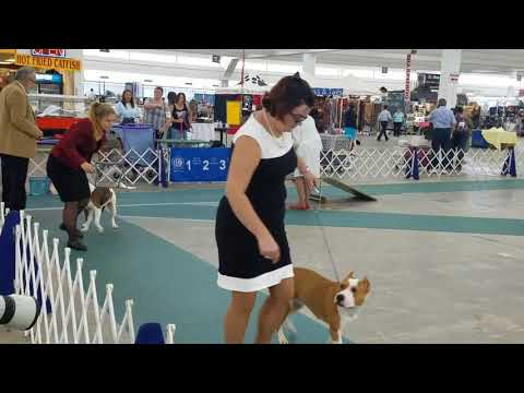 August 24th 2017 Amstaffs Atlanta dog show
