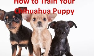 How To Potty Train A Chihuahua Puppy - Training Chihuahua Puppies FREE EBOOK