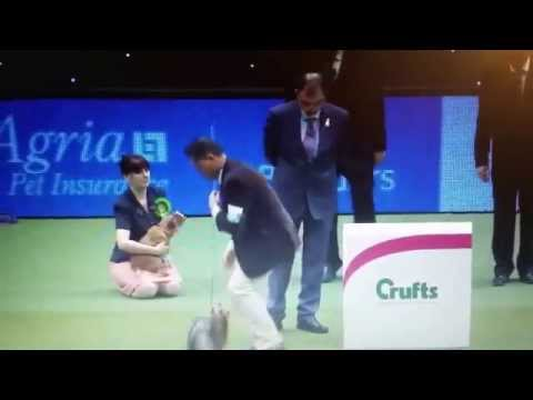 Crufts 2015,  Yorkshire Terrier BOB Winner - Debonaire's Hold Me Now