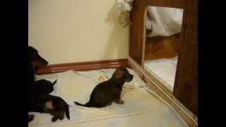 Миниатюрная длинношерстная такса и её щенки (1 месяц)