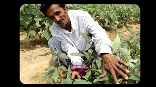 Zero-Pesticide BT Eggplant Farming in Gazipur, Bangladesh