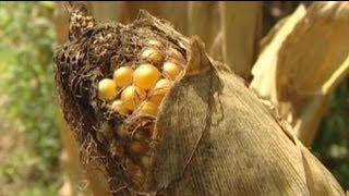 OGM: aumentano il rischio di sviluppare tumori?