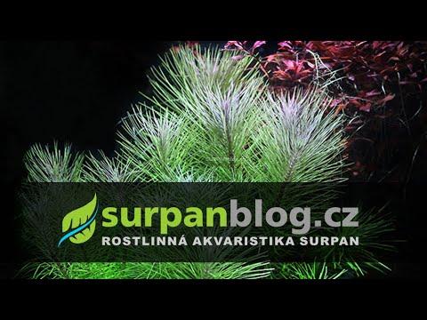 Pogostemon erectus - pačule vzpřímená - aquarium plant (fullHD)
