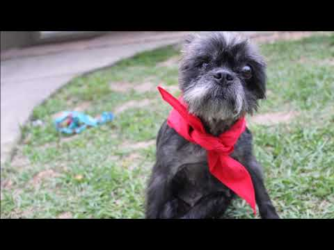 Florida Shih Tzu Rescue - ADOPTIONS - Rescue Me!