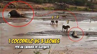 Cocodrilo contra 3 Leones | Luchando por cadáver de un Elefante thumbnail