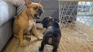 Puppy Frenchie Goes Crazy