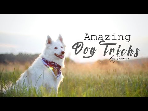 .:: Amazing Dog Tricks -.by Germanspitz Yumi ::.