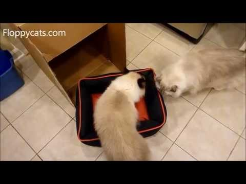 Ragdoll Cats Check Out Petmate Dogzilla Pet Bed Arrival for Review - ねこ - ラグドール - Floppycats