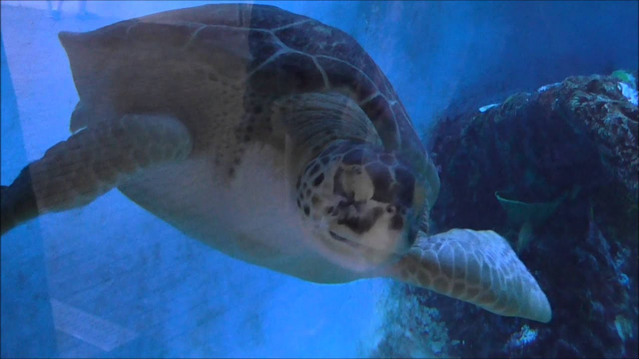Turtles and manatees at mote marine laboratory and Manatee aquarium