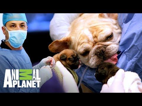 ¡Perra bulldog tiene parto por cesárea! | Veterinarios de Texas | Animal Planet