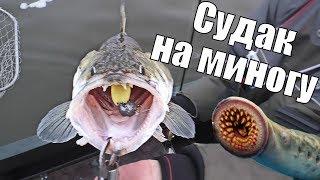 СУДАК ЖРЁТ МИНОГУ! Рыбалка на имитации кровососущих гадов