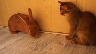 Сомалийские кошки они такие