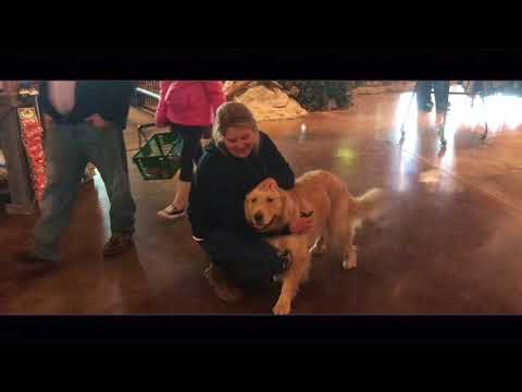 Toledo Dog Training: 2.5 Yr Old Golden Retriever, Macie! Before/After Two Weeks!