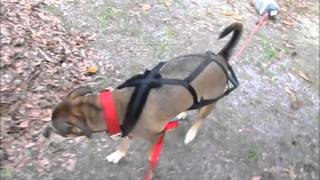 Cooper's Weight Pull Training (part 1)