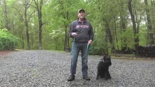 Standard Schnauzer Dog Training Winston Salem NC | Ollie